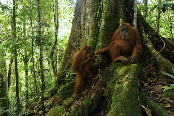 Orangutans in Gunung Leuser National Park, Sumatra, Indonesia