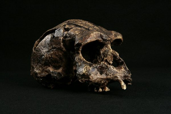 Fossil skull in Sangiran Early Man Site, Central Java, Indonesia
