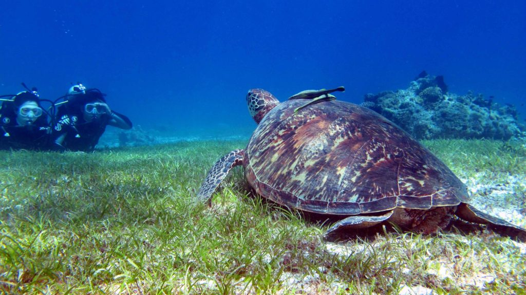 Scuba divers with a turtle in Bohol