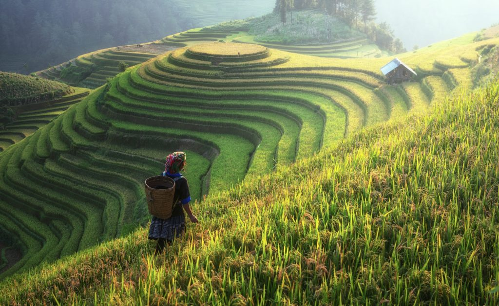 Rice terraces with woman