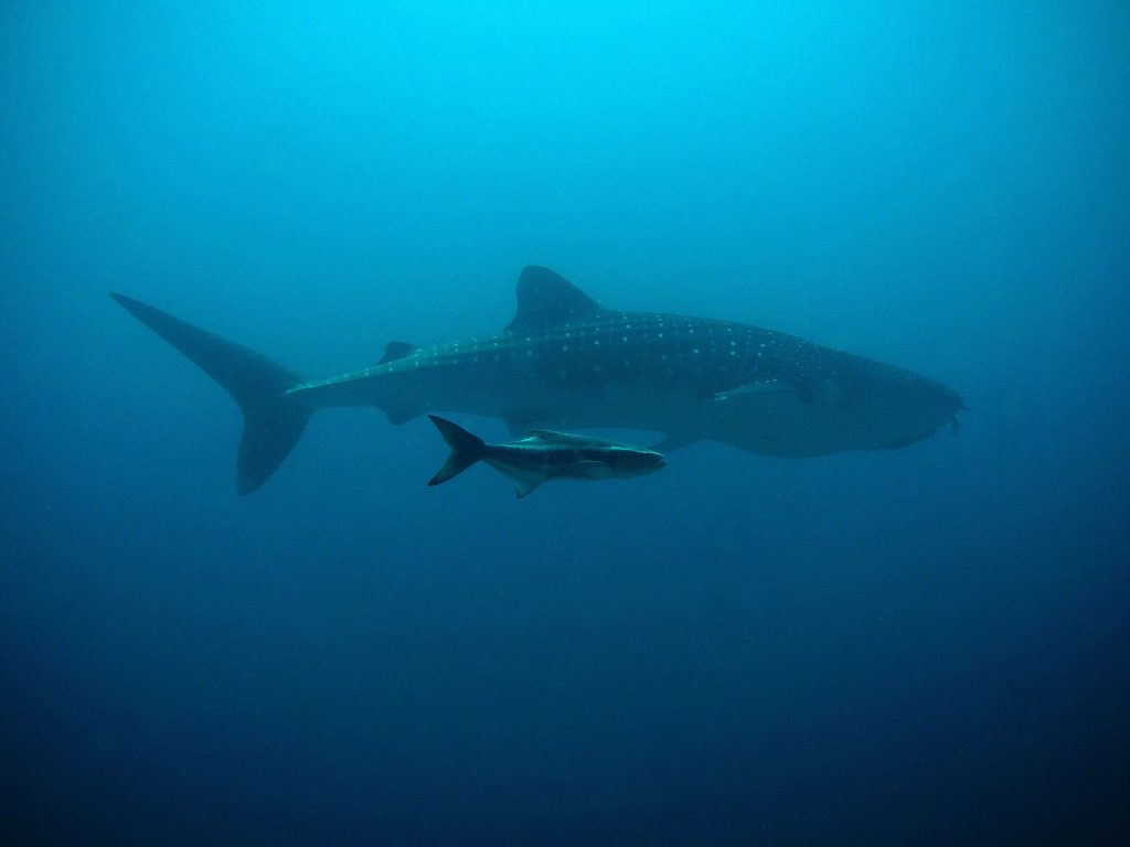 Whale shark and fish