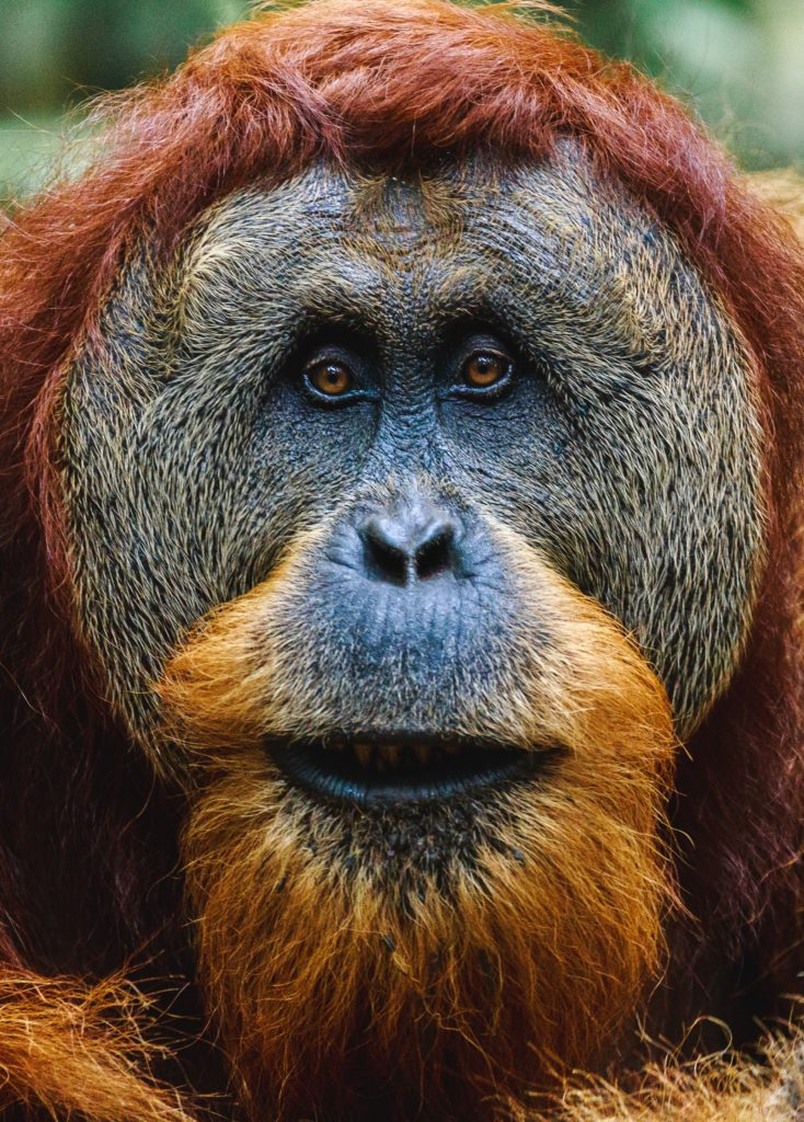 Face of an orangutan